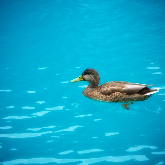 """Duck in the lake"" stock image"