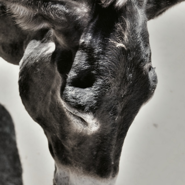 """""""Photo of a cute tired donkey on the farm"""" stock image"""