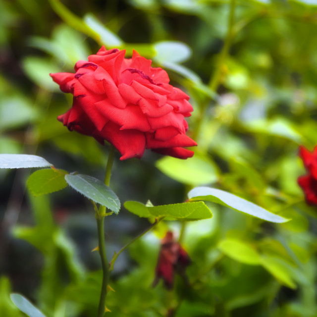 """""""Beautiful red roses in the garden"""" stock image"""