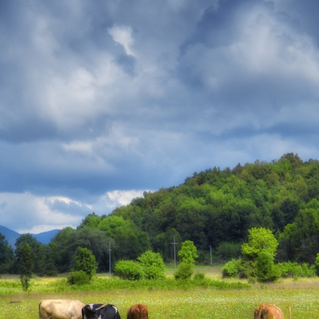 """""""Cows on a meadow on a sunny spring day"""" stock image"""