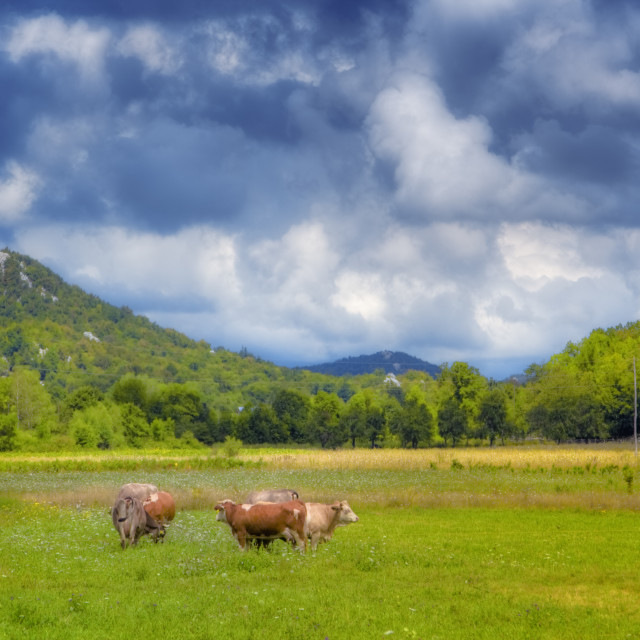"""""""Cows on a meadow"""" stock image"""