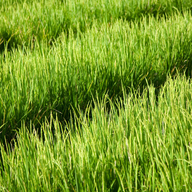 """Rice field"" stock image"