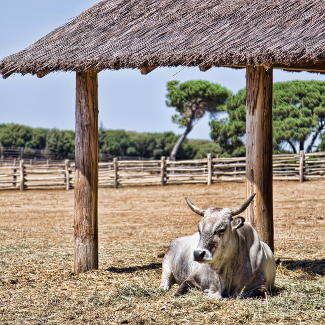 """""""Cow in pasture"""" stock image"""