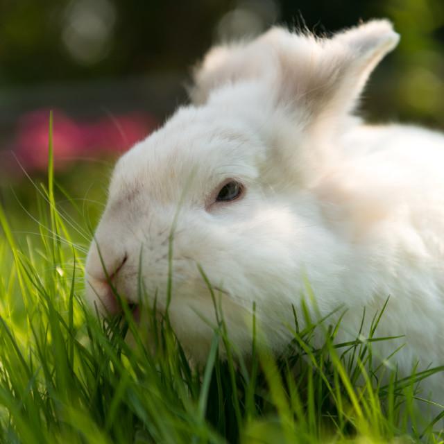 """White bunny"" stock image"