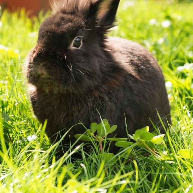 """Black bunny"" stock image"
