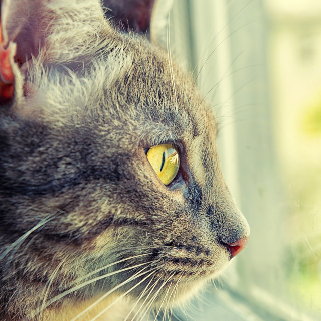 """Cat looking to the window"" stock image"