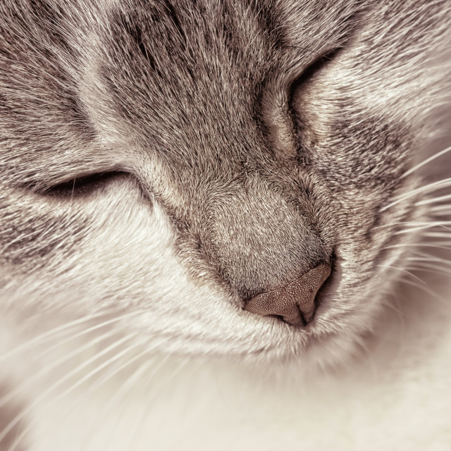 """Portrait of a happy kitten in sepia tone"" stock image"