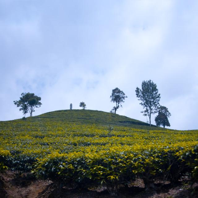 """Indonesian tea fields"" stock image"