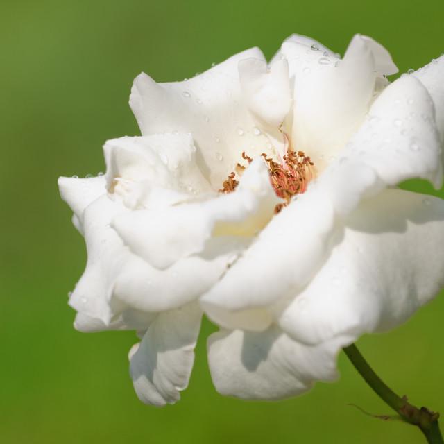 """Rose"" stock image"