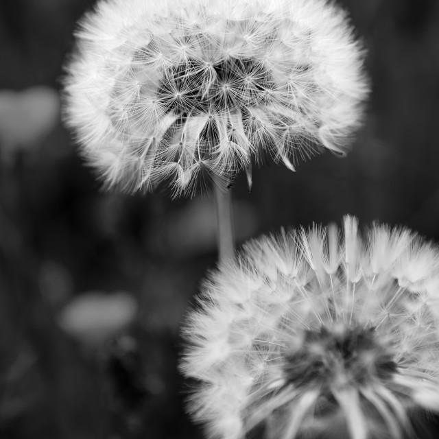 """""""dandelion flower"""" stock image"""