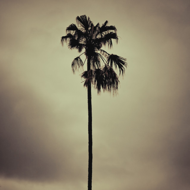"""Palm tree ,retro style artistic toned photo"" stock image"