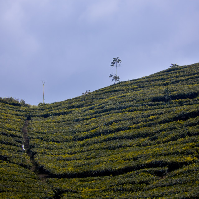 """Indonesian tea fields"" stock image"