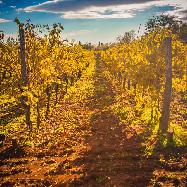 """Mediterranean Vineyard on the hill"" stock image"