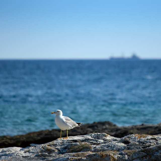 """Seagull on the rocky beach"" stock image"