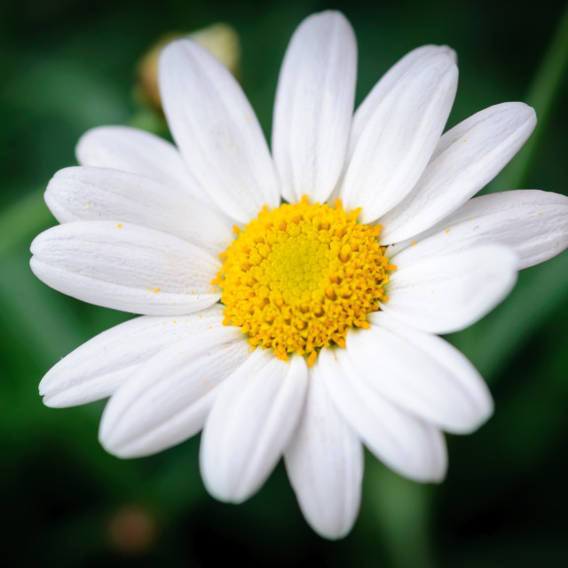 """Ox eye daisy Bellis Perennis"" stock image"