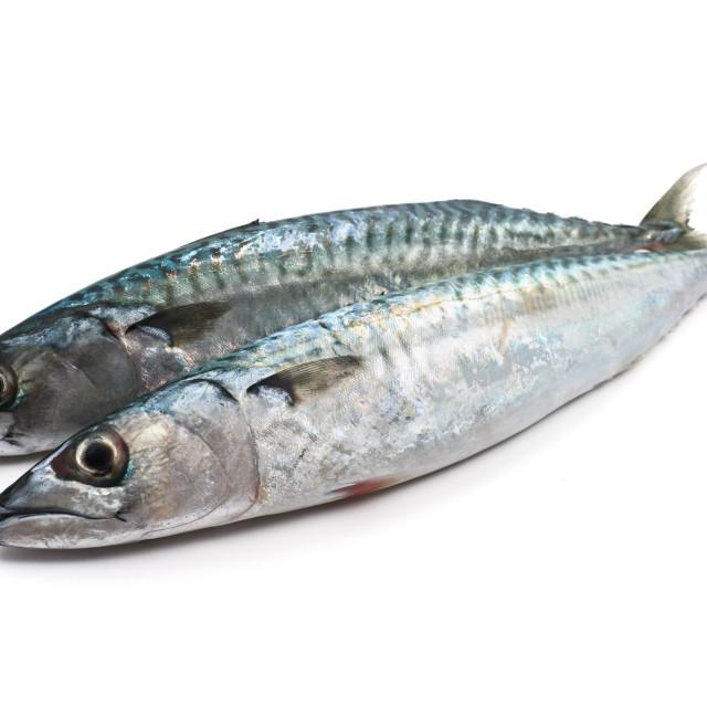 """two fresh mackerel"" stock image"