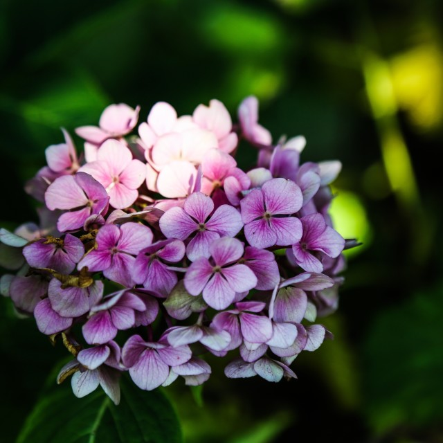 """Hortensia in the garden"" stock image"