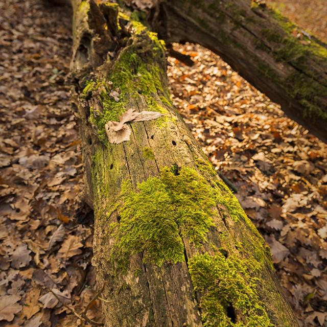 """""""moss on a fallen log"""" stock image"""