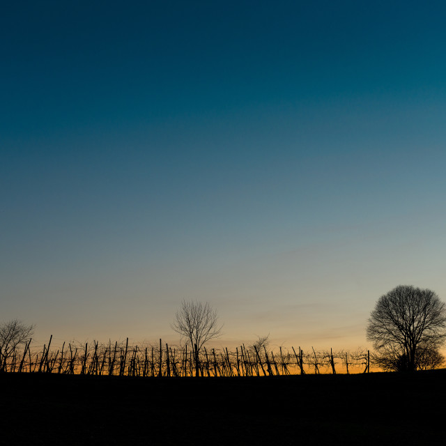 """Vineyard sunset"" stock image"
