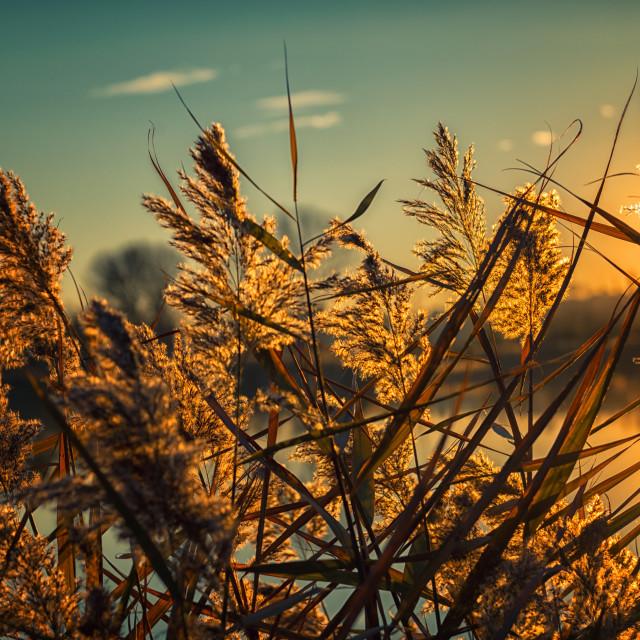 """Cane thicket sunset"" stock image"