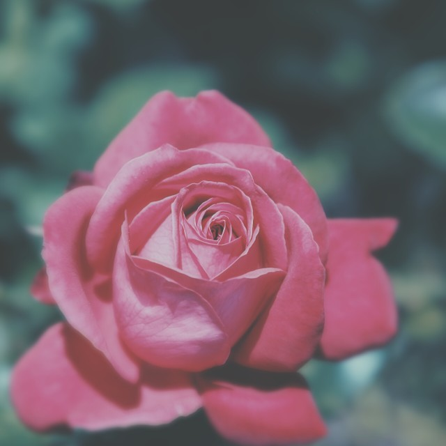 """Rose in the garden"" stock image"