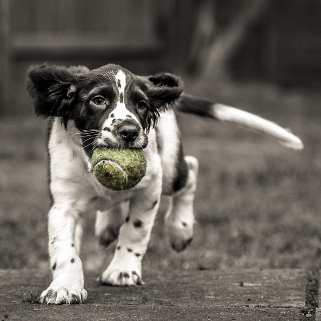 """Molly the Springer"" stock image"