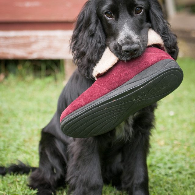 """My mum blamed me for hiding her shoe! ... hmmmm"" stock image"