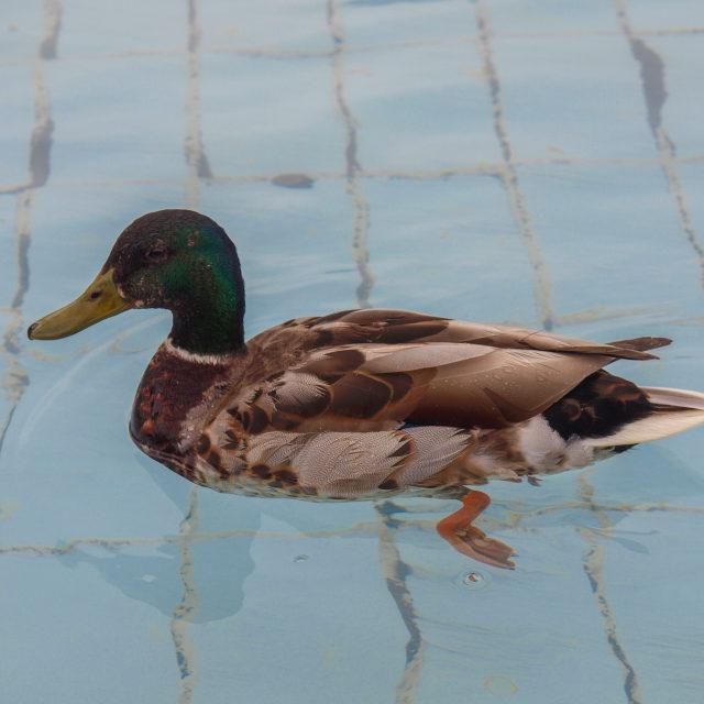 """Duck bird"" stock image"