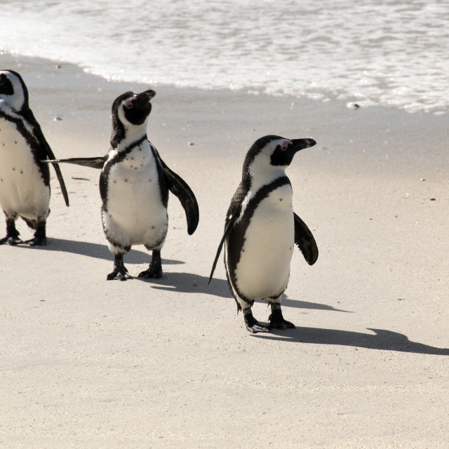 """""""""""That Way"""" - African Penguins at Boulders Beach, Simonstown"""" stock image"""