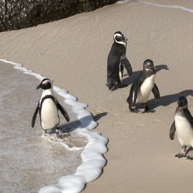 """""Which Way"" - African Penguins at Boulders Beach, Simonstown"" stock image"