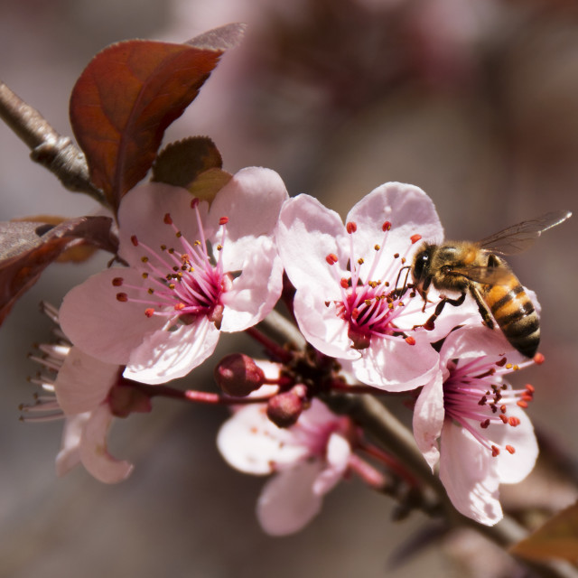 """Honey Bee at work in spring's fruit tree blossoms"" stock image"