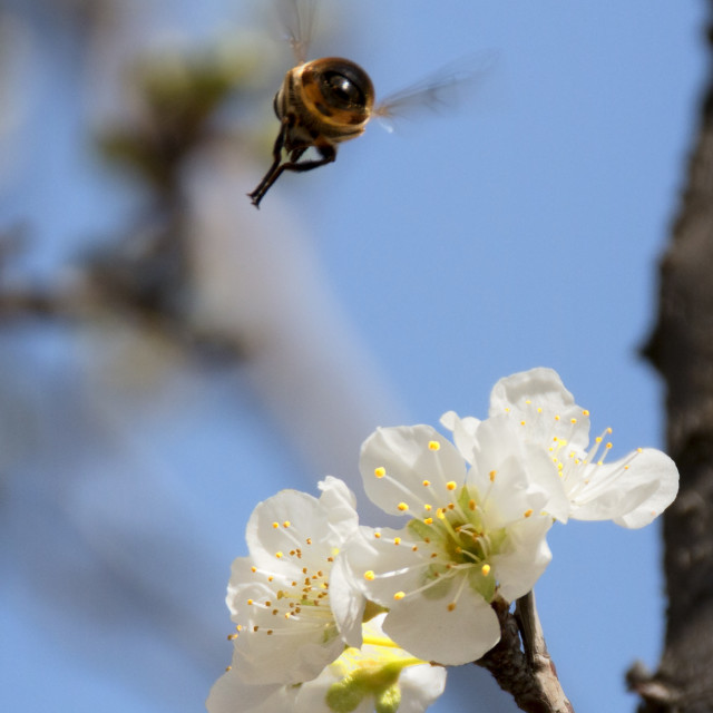 """""""Honey Bee flying in search of the next blossom"""" stock image"""