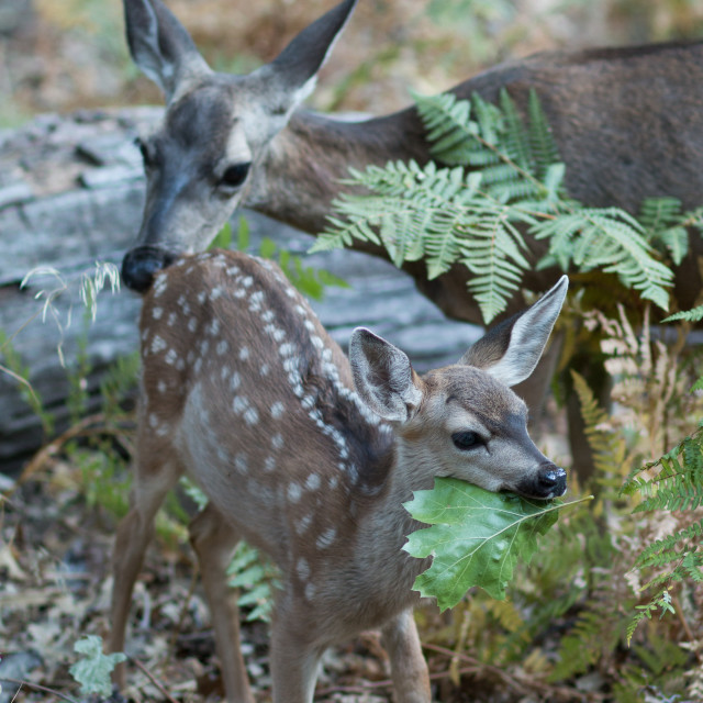 """A mule deer fawn chews on a large green leaf as his mom looks on."" stock image"