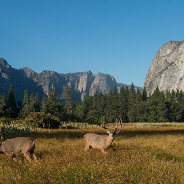 """Mule deer bucks in Yosemite Valley."" stock image"