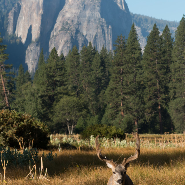 """Mule deer buck in Yosemite Valley."" stock image"