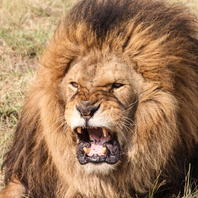 """Angry Lion"" stock image"