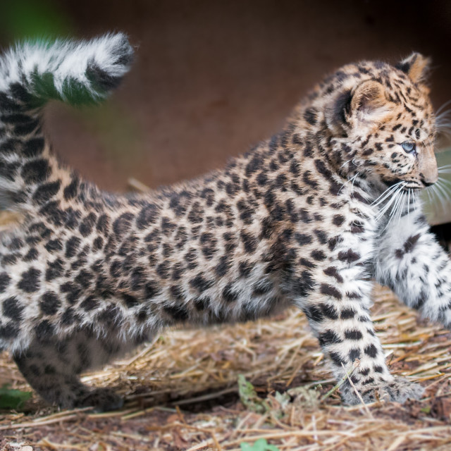 """And ... Pose for the camera!! (Amur Leopard Cub)"" stock image"