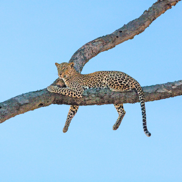 """African Leopard"" stock image"