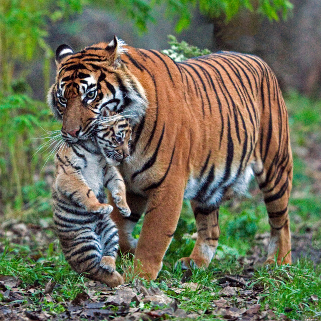 """Tiger Carrying Cub"" stock image"