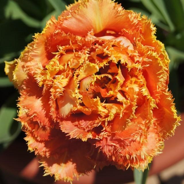 """""""Exotic Poppy"""" stock image"""
