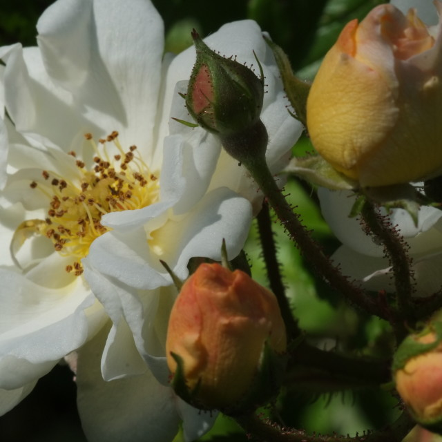 """""""Wild rose and buds"""" stock image"""