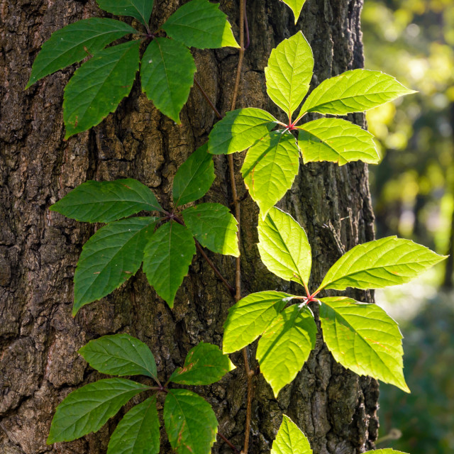 """""""Creeper Leaves Under the Sun"""" stock image"""