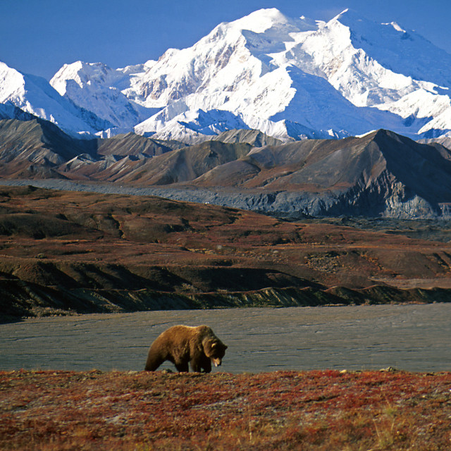 """""""Grizzly bear in front of Mt. McKinley."""" stock image"""