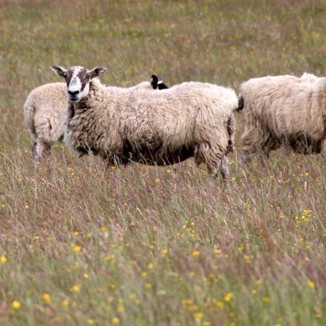 """Cowl neck sheep"" stock image"