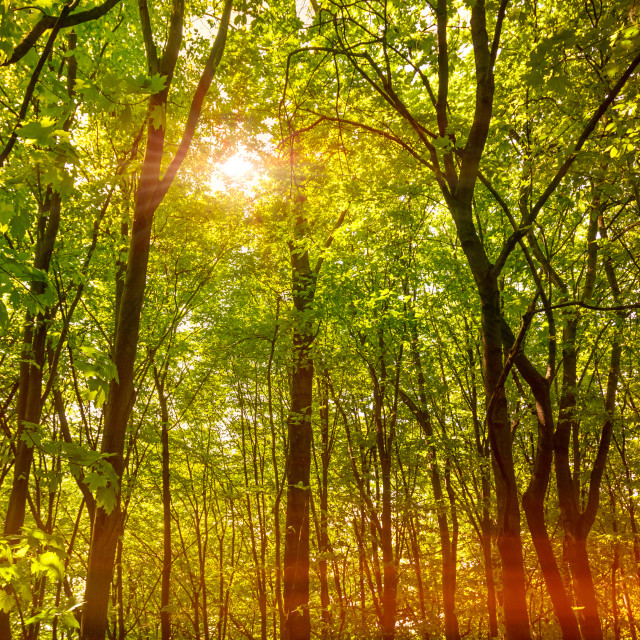 """Sun in the Forest"" stock image"