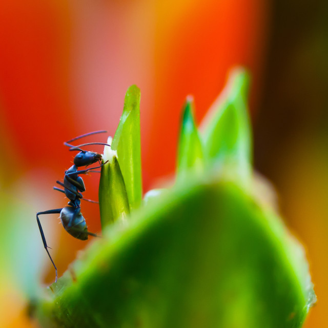 """Ant on a Heliconia Stricta Flower"" stock image"