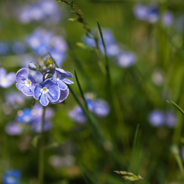 """Speedwell"" stock image"