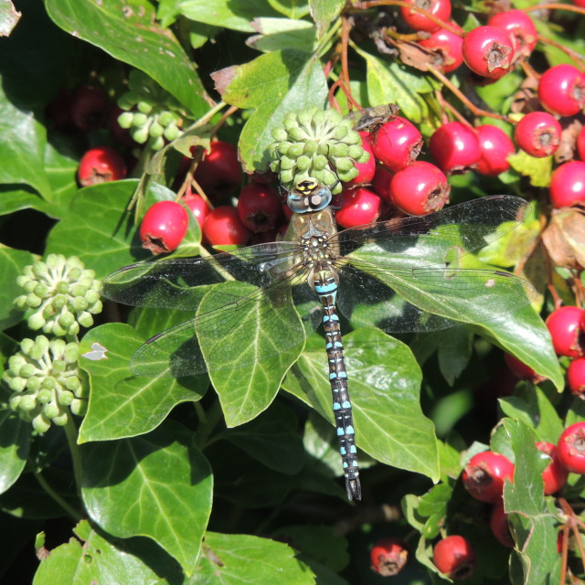 """""""Autumn Berries and Dragon"""" stock image"""