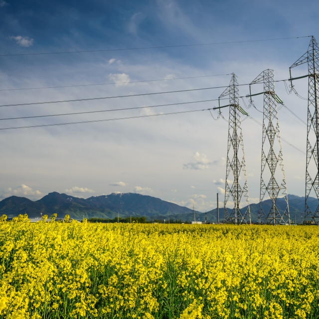 """Colza field and powerline electricity"" stock image"