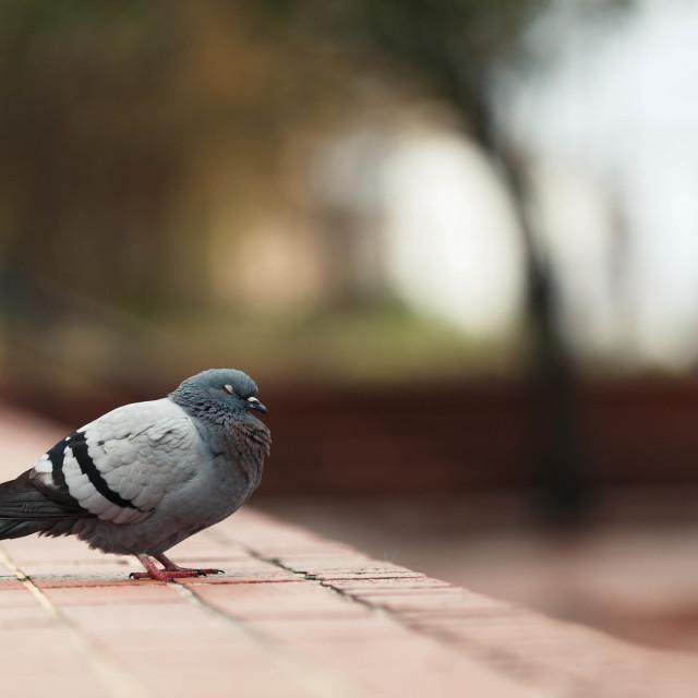 """""""Sleepy Pigeon"""" stock image"""